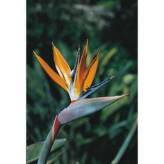 2 Gallon Bird of Paradise - bought @ Lowes 3/24/18 for $14.98 & planted in container, next to much larger but freeze-damage container plant.  Bird of paradise flowering shrub brings a tropical accent to your landscape. Evergreen shrub produces exotic, colorful flowers shaped like tropical birds; retains foliage throughout the year.  Thrives in full sun (6+ hrs. direct), & requires semi-moist soil for healthy plant growth.  Fertilize Spring & Summer.  Avg. non-container size is 4'H x 4' W.