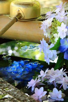 真如堂の素晴らしい紫陽花と手水舎や初夏の情景