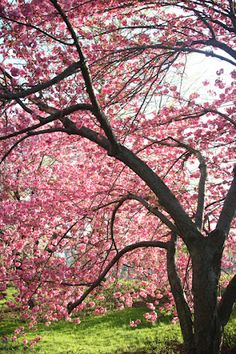 I will have cherry trees.