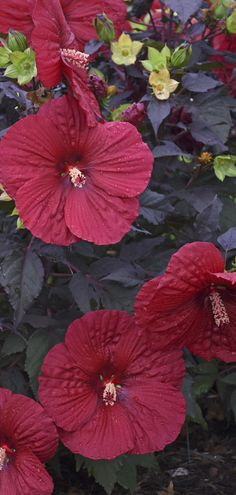 Proven Winners - Summerific® 'Holy Grail' - Rose Mallow - Hibiscus hybrid red deep red plant details, information and resources. Flower Bed Designs, Flower Pot Design, Tropical Flowers, Red Flowers, Beautiful Flowers, Easy Garden, Diy Garden Decor, Garden Ideas, Red Plants