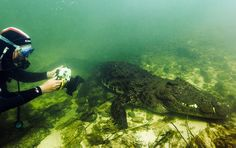 Dive with crocodiles in Africa. If you're looking for thrills and dare to be brave, getting up close and personal with a crocodile, an ancient predator that has four times the bite pressure of a great white shark, is one of the most intense experiences you can have. The Cango Wildlife Ranch in Oudtshoorn, South Africa, offers Nile crocodile cage-diving in a bite-proof cage, or you can take a private, cage-free expedition in Botswana with Big Animals Expeditions.