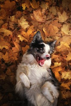 Cute Baby Puppies, Cute Dogs, Dogs And Puppies, Collie, Beautiful Dogs, Animals Beautiful, Cute Animals, Smartest Dogs, Australian Shepherd