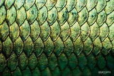 Betta Splendens scales : Macro by Chantal Wagner Photo Macro, Genji Shimada, Photo Stock Images, Fish Scales, High Fantasy, Character Aesthetic, Patterns In Nature, Fish Art, Betta Fish