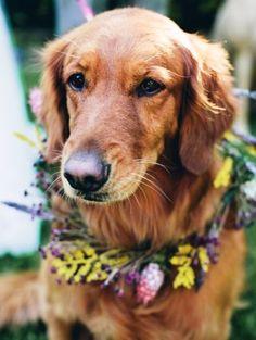 Golden retriever wedding dog flower crown  Toni Kami ❀Flowers in their coats❀