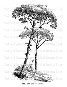 Tree Pinus Pinea Printable Nature Graphic by TheOldDesignShop Landscape Drawings, Architecture Drawings, Tree Drawings Pencil, Art Drawings, Hatch Drawing, African Tree, Painting Templates, Tree Sketches, Tree Graphic