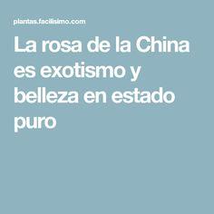 La rosa de la China es exotismo y belleza en estado puro