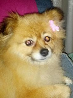 Pets and Cannabis | My friend, Madeline Martinez, has used cannabis to stop her dog's seizures. As a medical cannabis activist, she knew it helped people with seizure disorders. She was thrilled to find out that it helped her sweet Pomeranian with her occasional seizures, too.