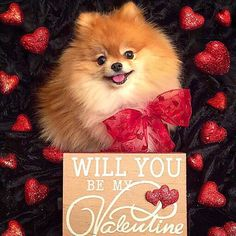Ginger's still looking for her Valentine! Happy Valentine's Day to all our friends! XOXO Monique& Ginger  This is our entry for #Whosyourvalentine2016 hosted by @pupsonpar @kelly_bove @krista_and_bo  This is our entry for #shaytounandfriendsvalentinesdaycontest hosted by @shaytoun_the_shihtzu @alice_cooper_in_wonderland @cheeky_chis We live in the USA  This is our entry for #vdaycards2016 hosted by @ohmydoggies @lifeofmill @lizzie.bear  We're celebrating Valentine's Day with @worldofbeau…