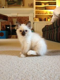 """Zelda, a little ragdoll cat.  I used to have a Ragdoll cat.  He had a siamese look to him & he was a big cat.  Ragdolls are awesome cats to have."