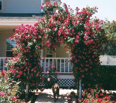 Rose Trellis - Bing Images