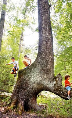HARTSELLE — A rare northern red oak malformed by Indians centuries ago adorns a Hartselle man's pasture, the only path-marking tree known to exist in Morgan County.