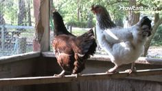 How To Raise Egg-Laying Chickens