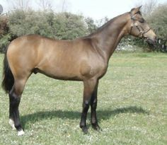 The Blazer Horse is a horse breed developed in the 1950s and 1960s in northwestern United States. Tracing back to one founding stallion, this breed of horse was bred to meet demands of daily ranch work, while still being gentle.   Blazer horses do not exceed 15 hands (60 inches, 152 cm) at full maturity, although they can be registered as small as 13 hands (52 inches, 132 cm). Their colors include black, bay and chestnut.