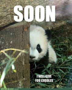 Funny pictures about Little panda's tender threat. Oh, and cool pics about Little panda's tender threat. Also, Little panda's tender threat. Niedlicher Panda, Panda Love, Cute Panda, Panda Funny, Happy Panda, Baby Animals, Funny Animals, Cute Animals, Baby Pandas