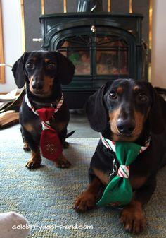 Crusoe & Oakley http://www.celebritydachshund.com/2013/12/27/holiday-traveling-with-dachshunds/