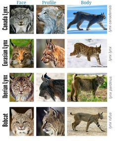 Lynx Genus Comparison Chart So I decided to make a chart comparing the 4 lynx species: Canada Lynx, Eurasian Lynx, Iberian Lynx and Bobcat. Most Beautiful Animals, Beautiful Cats, Wild Cat Species, Fox Species, Iberian Lynx, Eurasian Lynx, Wild Creatures, Animal Facts, Small Cat
