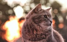 Download wallpapers gray fluffy cat, sunset, domestic cat, bokeh, breed of fluffy cats