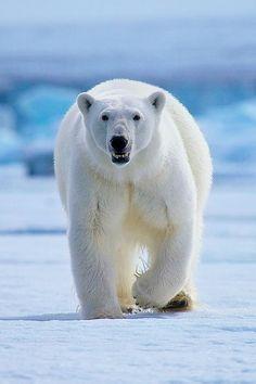 Polar Bear (Ursus maritimus) King of the Arctic Animals Images, Nature Animals, Animals And Pets, Animal Pictures, Cute Animals, Arctic Animals, Wild Animals, Baby Animals, Beautiful Creatures