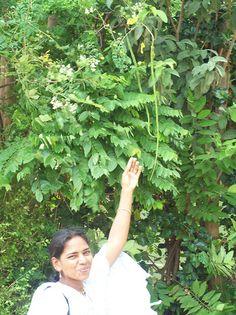 How to grow a moringa tree. Moringa oleifera #drumsticks