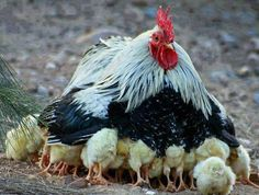 chicken with chicks