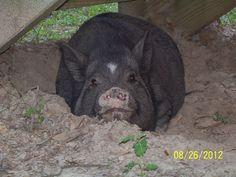 A Piggies Life.