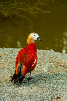 Ruddy Shelduck | Amazing Pictures - Amazing Pictures, Images, Photography from Travels All Aronud the World
