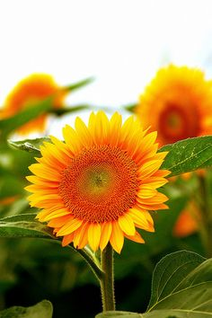 Sunflower |