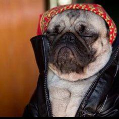 I love pugs facial expressions!