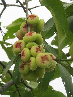 Tropical Fruits: Wax apples (bellfruits) on tree. (aka Water Apples or Jambu Air or Wax Jambu) http://2.bp.blogspot.com/-dQWJ5RLQ_yk/UQYoQY8PF7I/AAAAAAAACqI/QgqcqMhzxFo/s1600/Jumbu_fruit.JPG