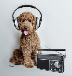 #poodle, #miniature, #apricot, #dog, #musician, #music, #headphones https://www.facebook.com/niconki/