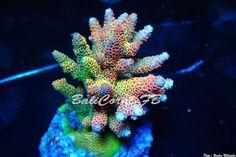 Coral Reef Aquarium, Marine Aquarium, Marine Tank, Marine Fish, Saltwater Fish Tanks, Saltwater Aquarium, Sps Coral, Coral Frags, Coral Reefs