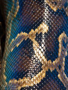˚Burmese Python (Python molurus bivittatus)