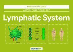 Lymphatic System Anatomy and Physiology - Nurseslabs Respiratory System Anatomy, Nervous System Anatomy, Endocrine System, Lymphatic System, Lymph Massage, Nursing Mnemonics, Human Anatomy And Physiology, Nursing Notes, Nurses