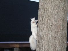 White squirrel on WKU's campus in Bowling Green, KY.
