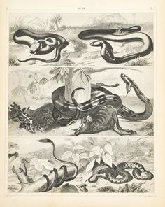 Green Ringed Snake Copperhead Cobra Boa Constrictor Antique Print 1857