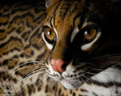 Ocelot - Beautiful
