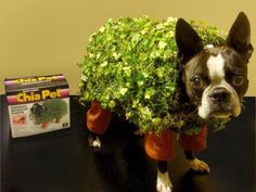 Chia pet costume on a Boston Terrier. haha Chia pet costume on a Boston Terrier. Halloween Costume Contest Winners, Best Dog Halloween Costumes, Pun Costumes, Halloween Puns, Costume Ideas, Halloween Ideas, Animal Costumes, Happy Halloween, Crazy Costumes