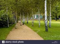 Image result for betula copse