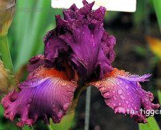 TB Iris 'Fangnificent' (Black, 2004)
