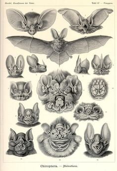 Chiroptera, From Art Forms of Nature by Ernst Haeckel