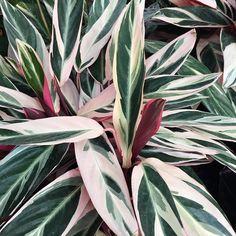 """""""Mi piace"""": 147, commenti: 3 - Camilla Corradi (@latazzinablu) su Instagram: """"On my wishlist: Calathea Triostar e le sue foglie striate rosa  #calatheatriostar #nature…"""""""