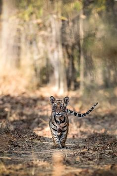 Cub Head-on - Tiger by Nimit Virdi on 500px