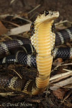 Ophiophagus hannah; Chinese-banded King Cobra