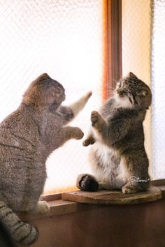 """Pallas cats """"Let's play 'Patty-Cake'! Big Cats, Cats And Kittens, Felis Manul, Funny Cats, Funny Animals, Wild Cat Species, Pallas's Cat, Cat Plants, Angry Cat"""