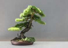 How to Take Care of a #bonsai Tree