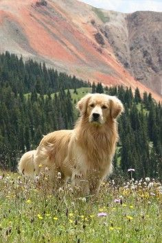 Beautiful photo of golden retriever. Love when they give this look.