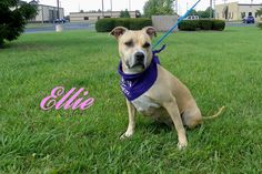 Bowling Green, OH Meet ELLIE, an adoptable Pit Bull Terrier looking for a…