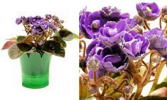 VIOLETAS Uma das mais tradicionais plantas decorativas, a violeta tem grande variedade de cores, permitindo criar composições com seus vasinhos. Em mesas, parapeito de janelas... Ela fica bem nos mais variados ambientes. O importante é garantir que seja exposta somente à luz indireta. Regar uma ou duas vezes por semana também é fundamental, sem molhar as folhas e flores. Nome cientifico: Saintpaulia ionantha