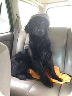 Meet Poppy, a Petfinder adoptable Flat-coated Retriever Dog | Watertown, CT | eet Poppy! This beautiful pup is about 1-2 years old, 45 pounds, and a great medium size. She is...