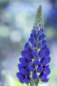 ~~The blue one ~ Lupin by SarahharaS1~~